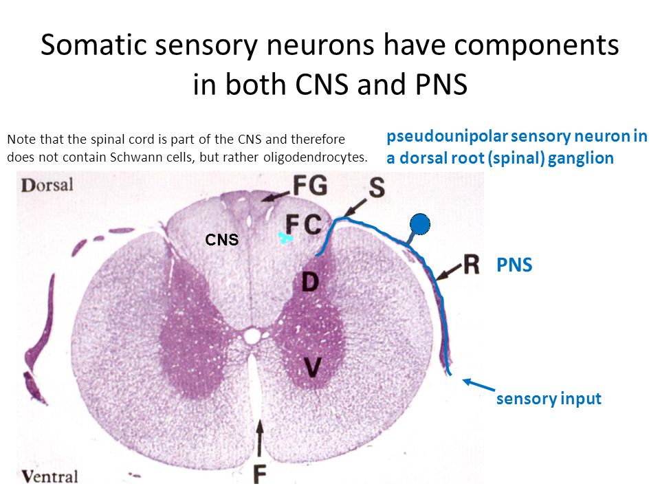 Somatic sensory neurons have components in both CNS and PNS