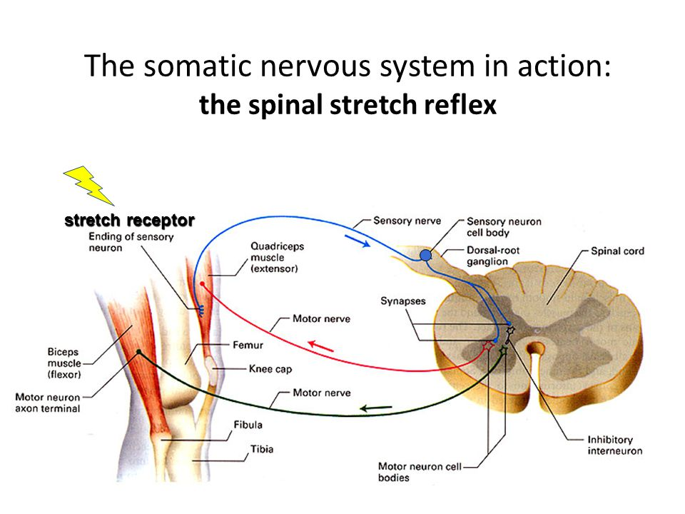 The somatic nervous system in action: the spinal stretch reflex