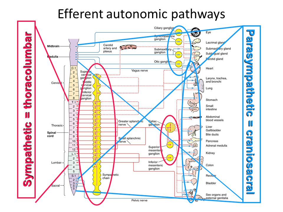 Efferent autonomic pathways