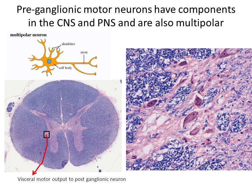 Pre-ganglionic motor neurons have components in the CNS and PNS and are also multipolar