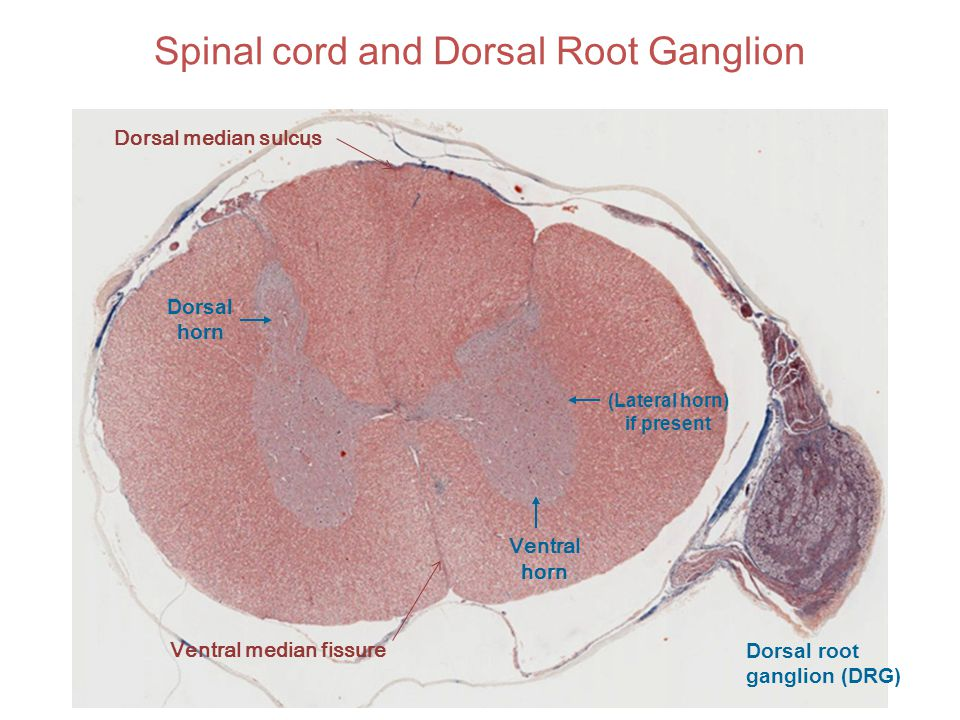 Spinal cord and Dorsal Root Ganglion