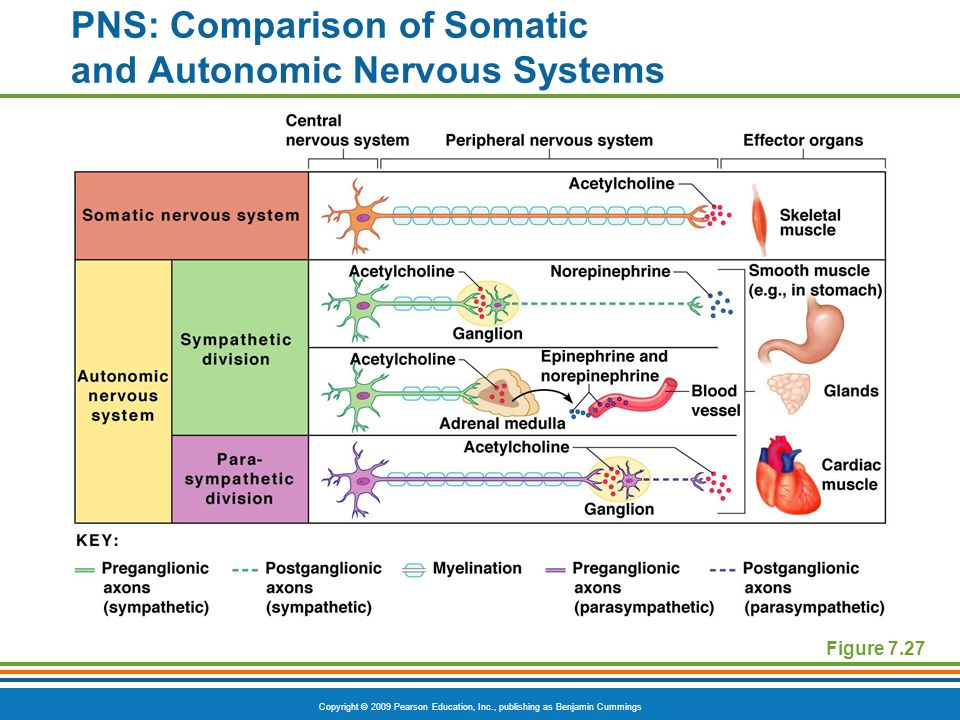 PNS: Comparison of Somatic and Autonomic Nervous Systems