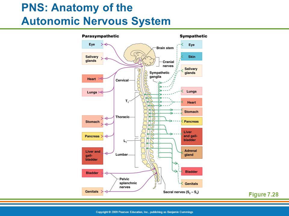 PNS: Anatomy of the Autonomic Nervous System