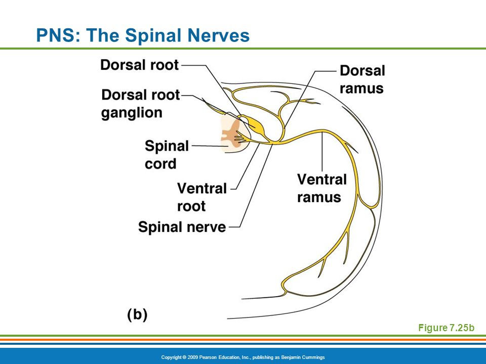 PNS: The Spinal Nerves Figure 7.25b