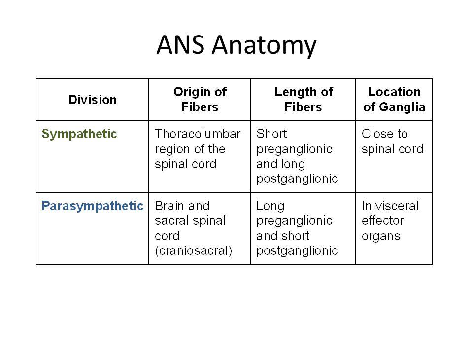 ANS Anatomy