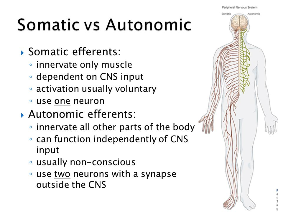Somatic vs Autonomic Somatic efferents: Autonomic efferents: