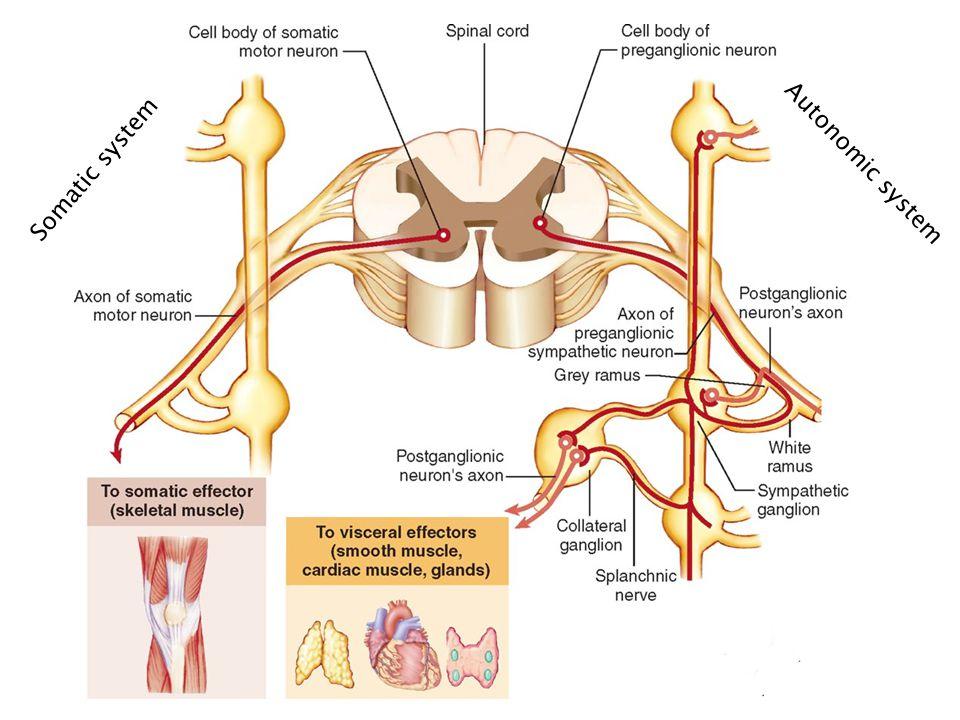 Somatic system Autonomic system