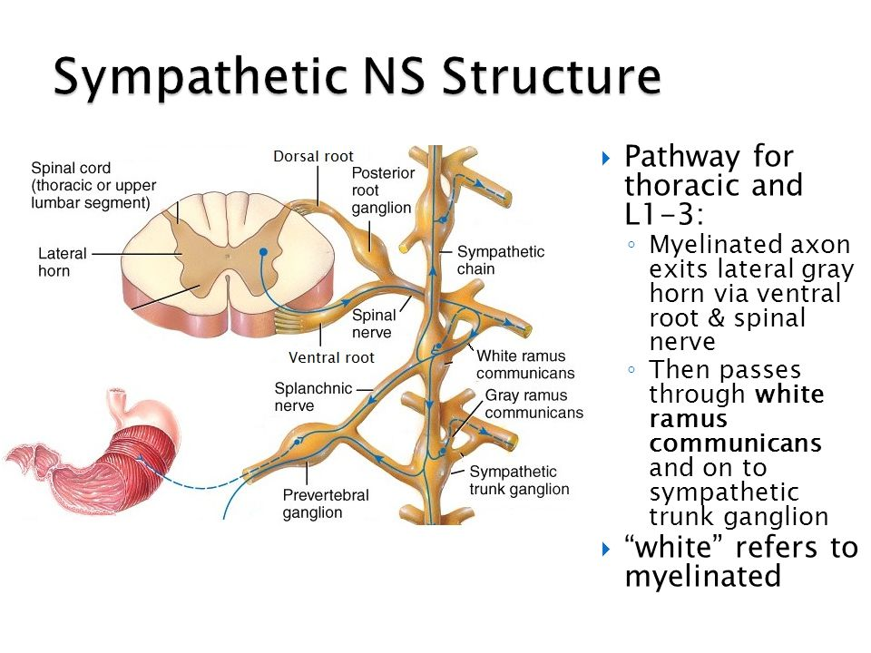Sympathetic NS Structure