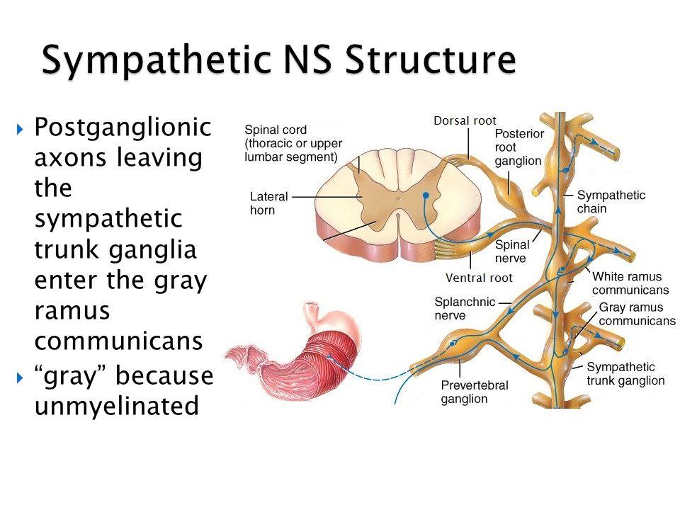 Sympathetic NS Structure