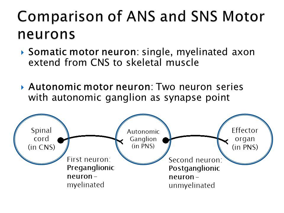 Comparison of ANS and SNS Motor neurons