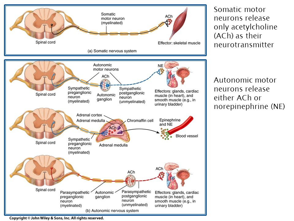 Somatic motor neurons release only acetylcholine (ACh) as their neurotransmitter