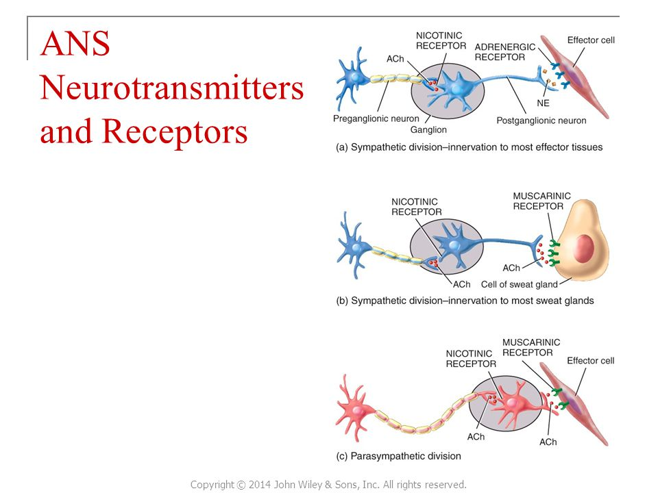 ANS Neurotransmitters and Receptors