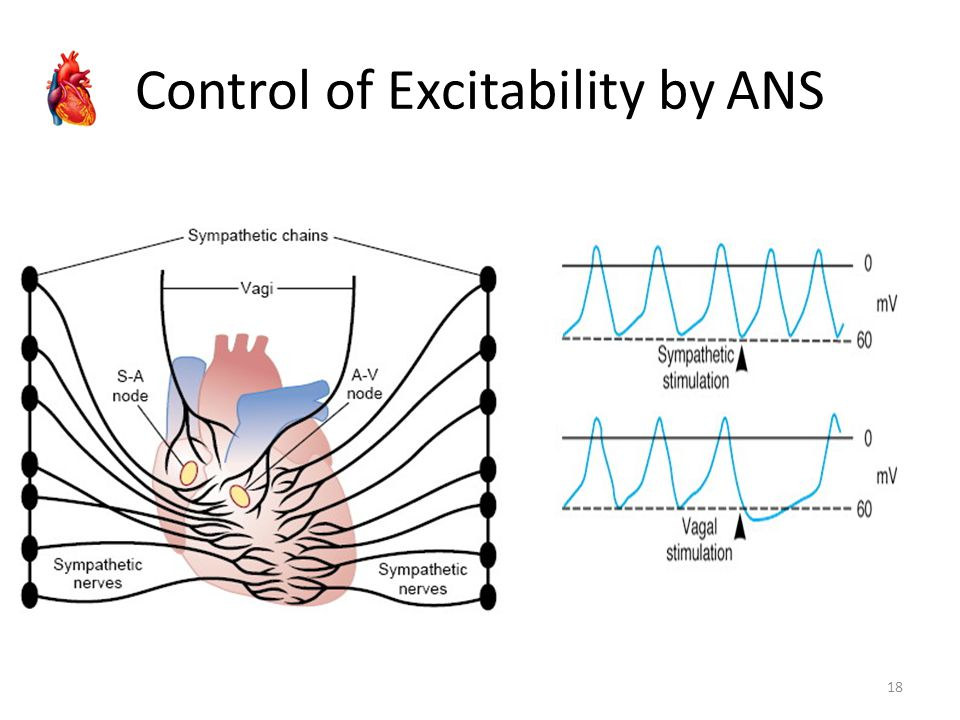 Control of Excitability by ANS
