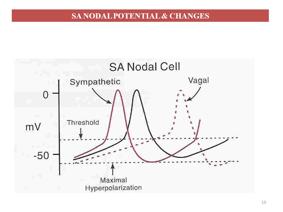 SA NODAL POTENTIAL & CHANGES