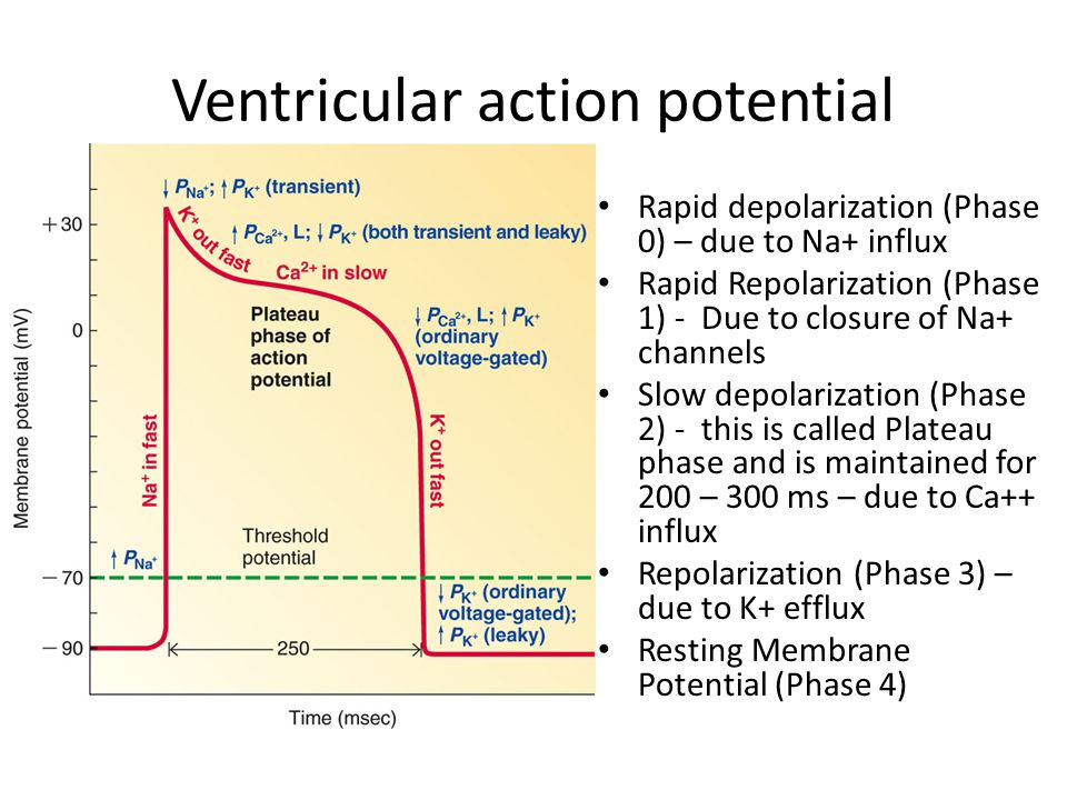 Ventricular action potential