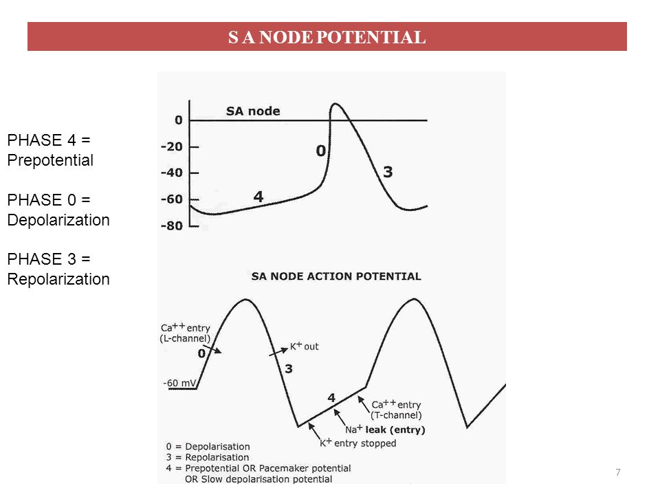 S A NODE POTENTIAL PHASE 4 = Prepotential PHASE 0 = Depolarization