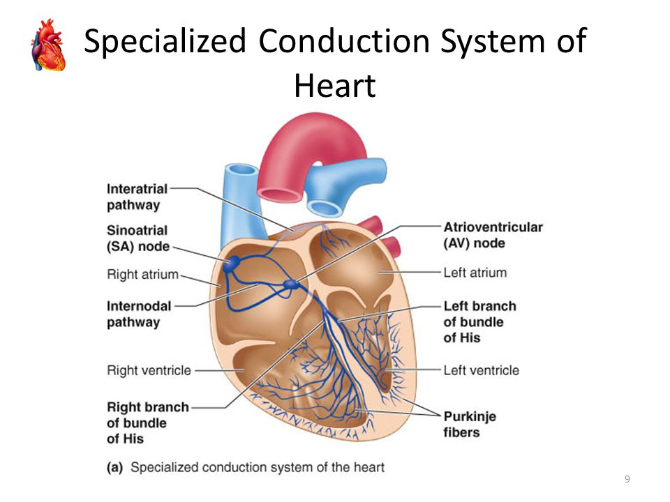 Specialized Conduction System of Heart