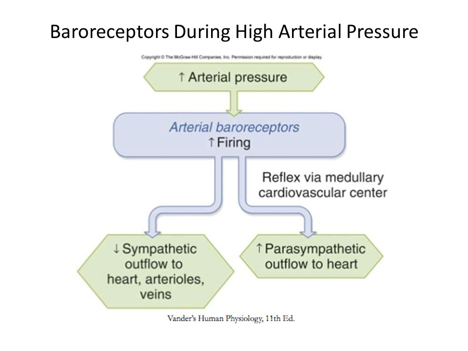 Baroreceptors During High Arterial Pressure