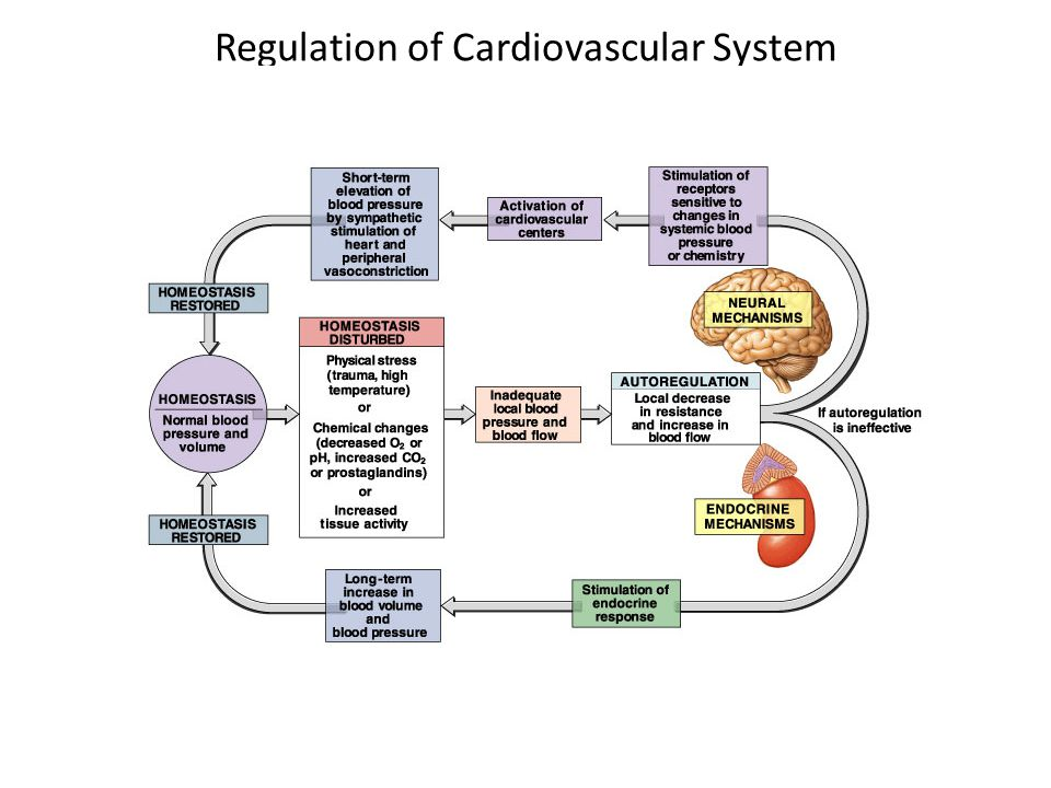 Regulation of Cardiovascular System Overview-
