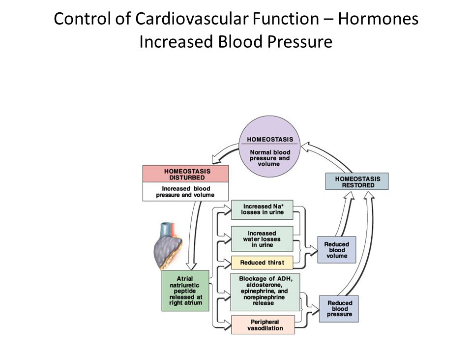 Control of Cardiovascular Function – Hormones Increased Blood Pressure