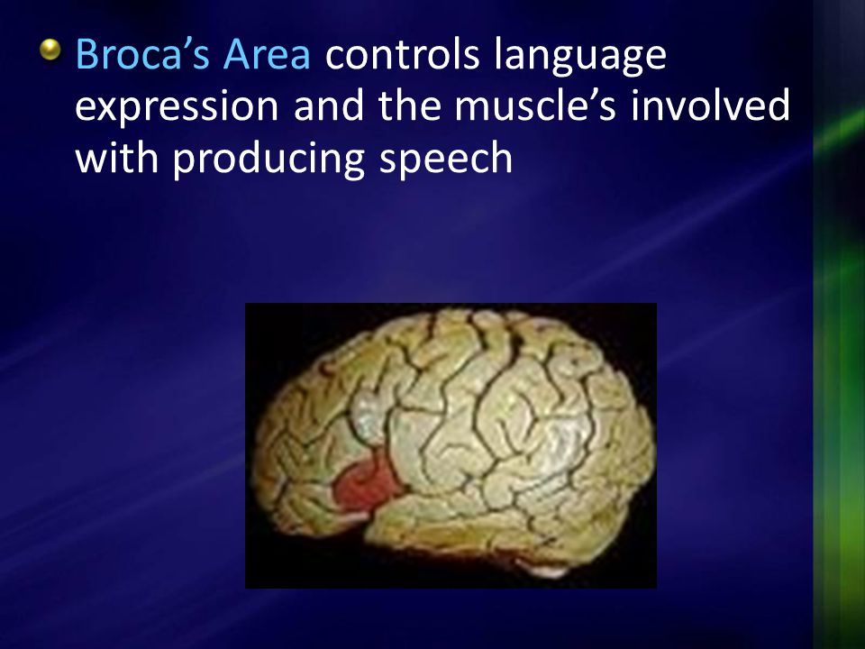 Broca's Area controls language expression and the muscle's involved with producing speech