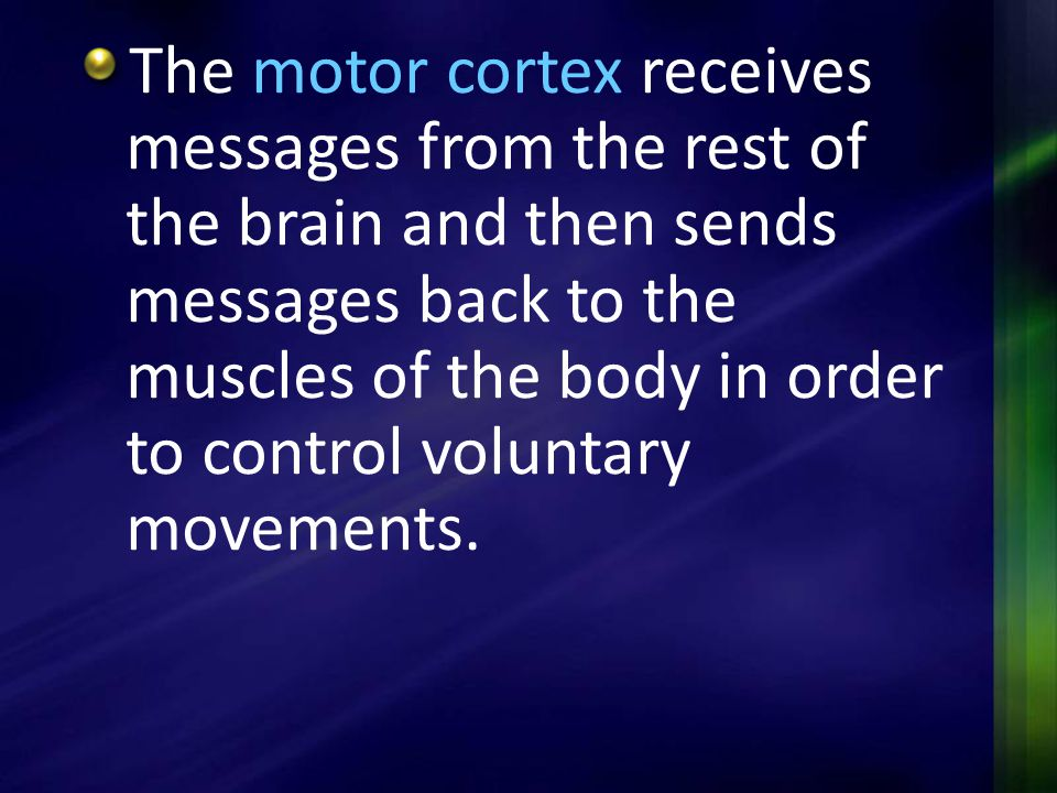 The motor cortex receives messages from the rest of the brain and then sends messages back to the muscles of the body in order to control voluntary movements.