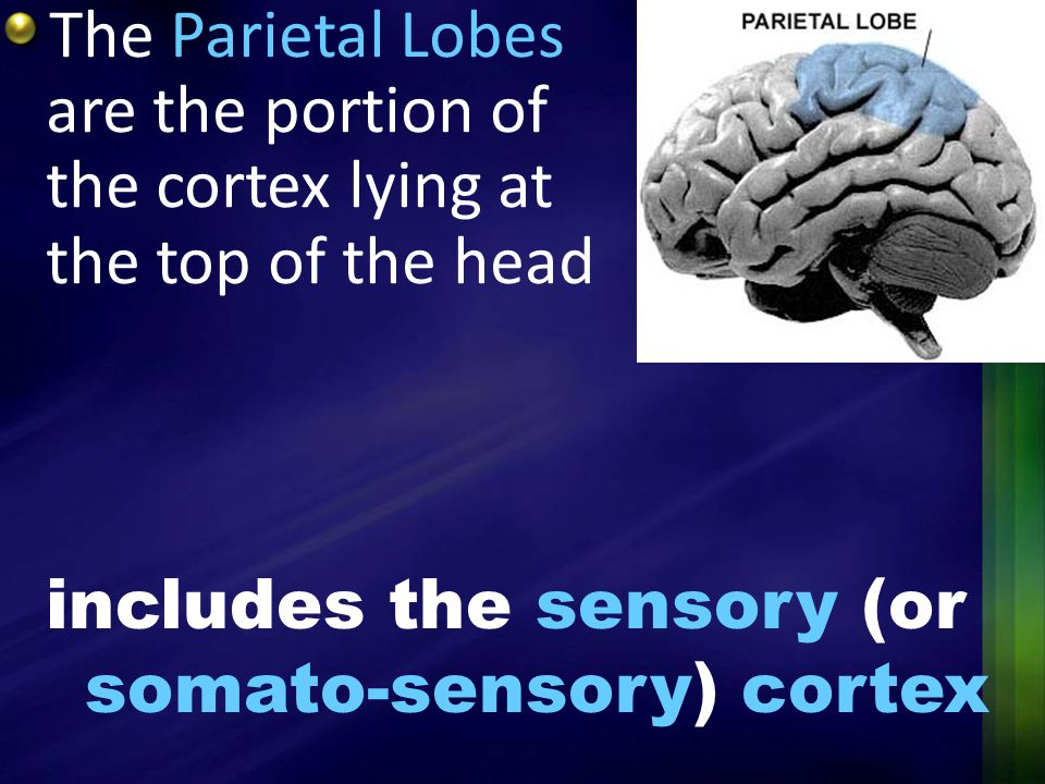 The Parietal Lobes are the portion of the cortex lying at the top of the head
