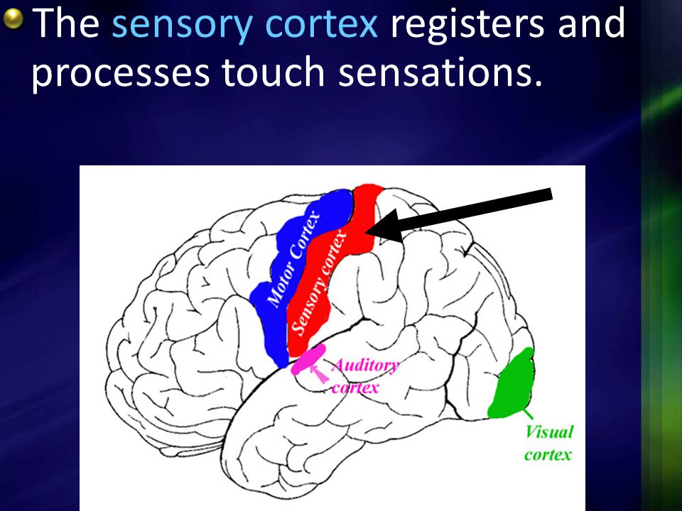 The sensory cortex registers and processes touch sensations.