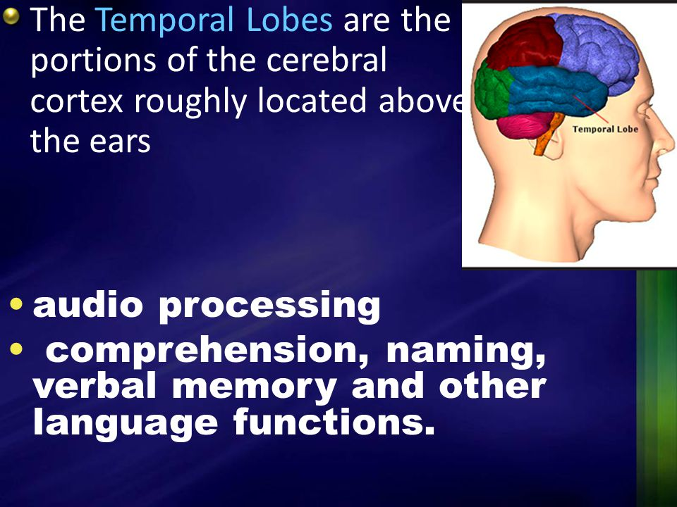 The Temporal Lobes are the portions of the cerebral cortex roughly located above the ears