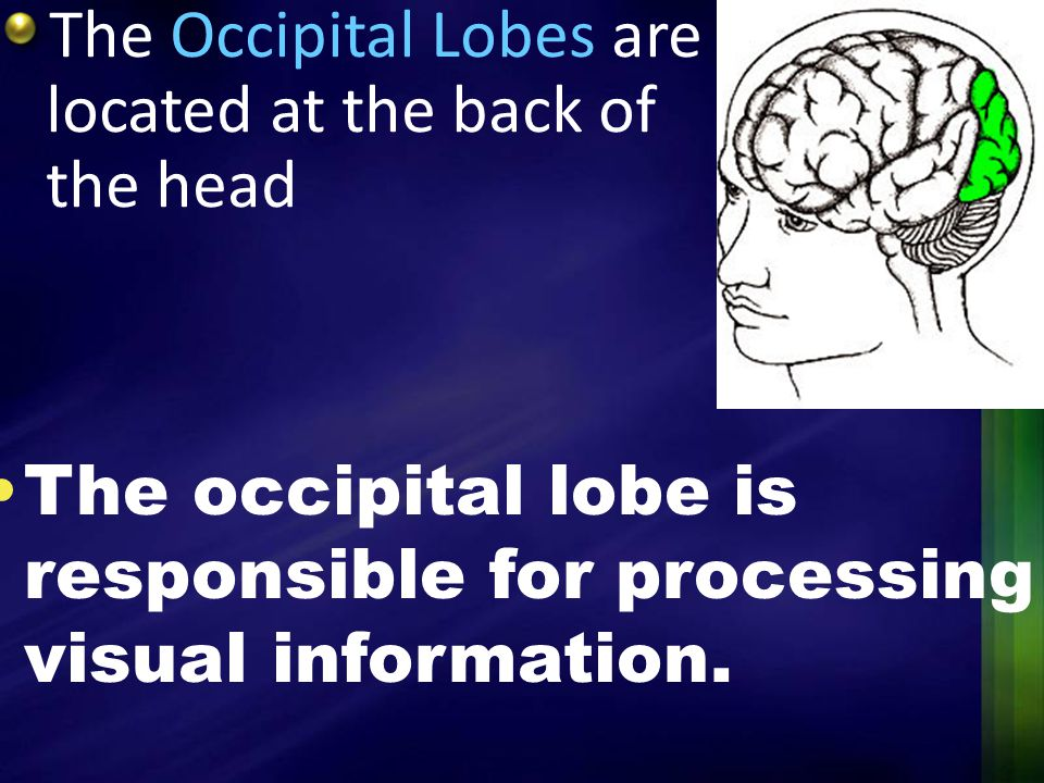 The Occipital Lobes are located at the back of the head