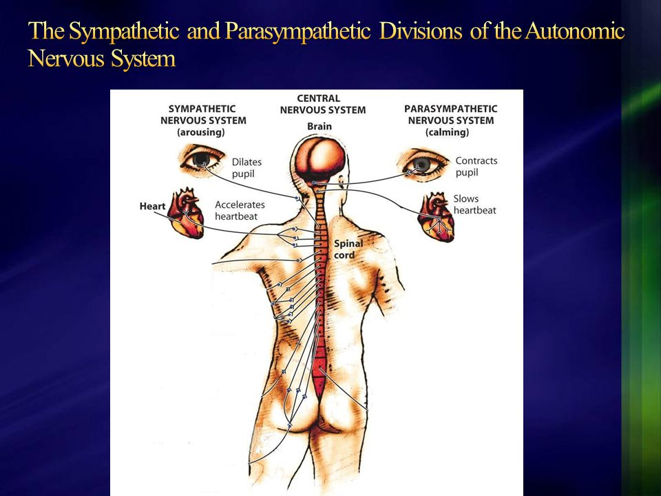 The Sympathetic and Parasympathetic Divisions of the Autonomic Nervous System