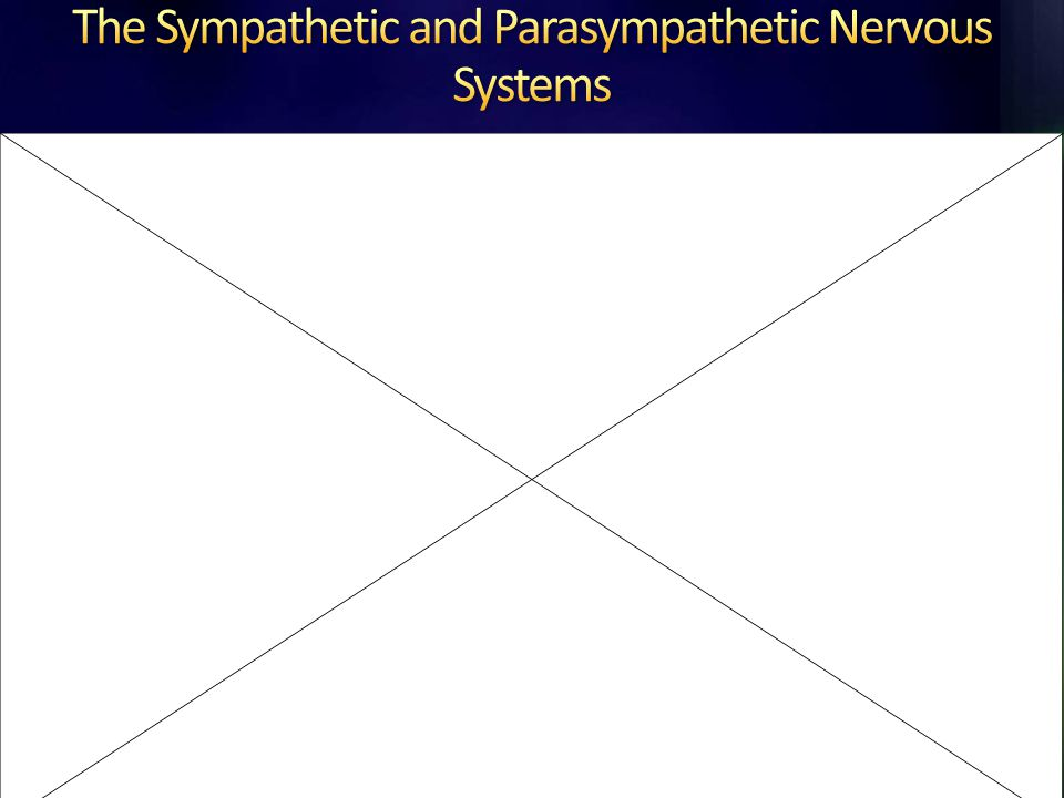 The Sympathetic and Parasympathetic Nervous Systems