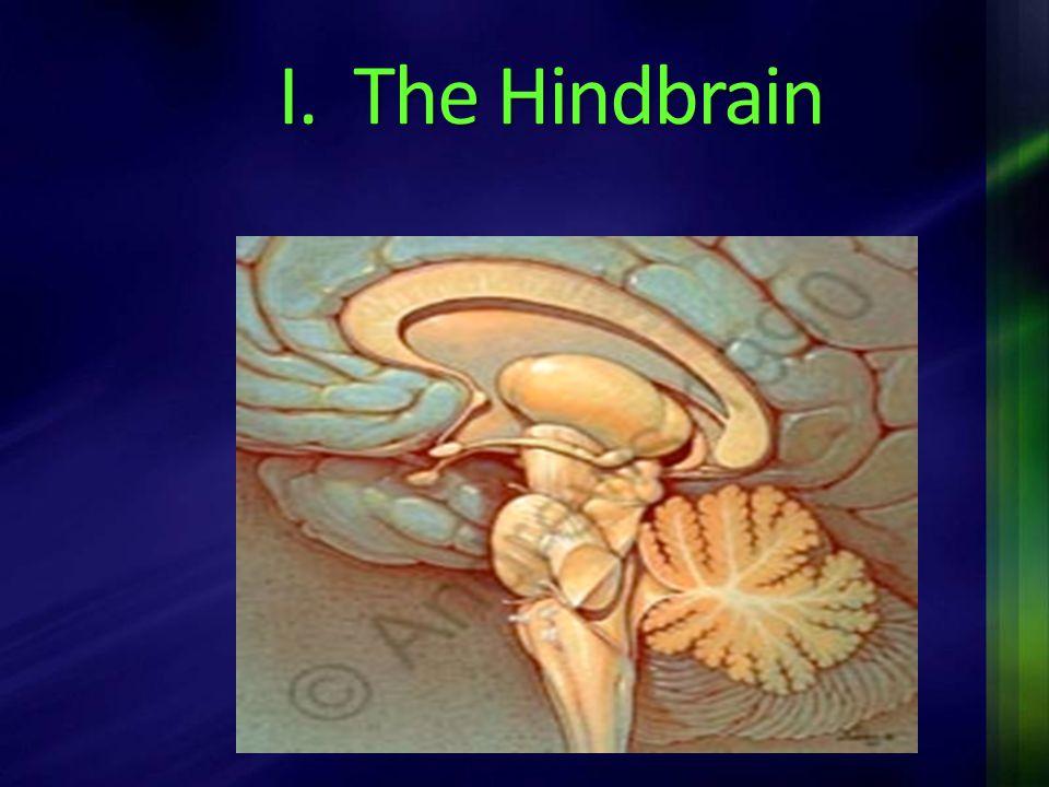 I. The Hindbrain