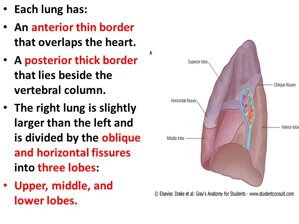 Each lung has: An anterior thin border that overlaps the heart. A posterior thick border that lies beside the vertebral column.