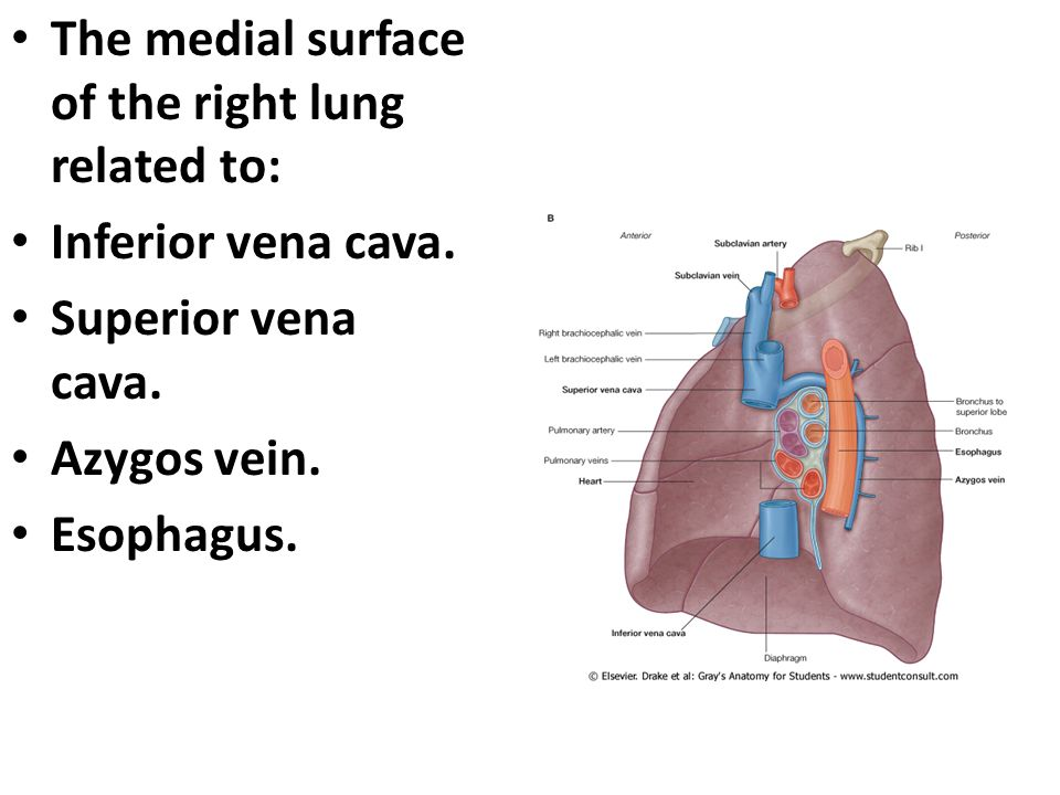 The medial surface of the right lung related to: