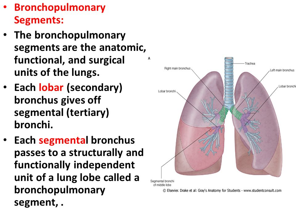 Bronchopulmonary Segments: