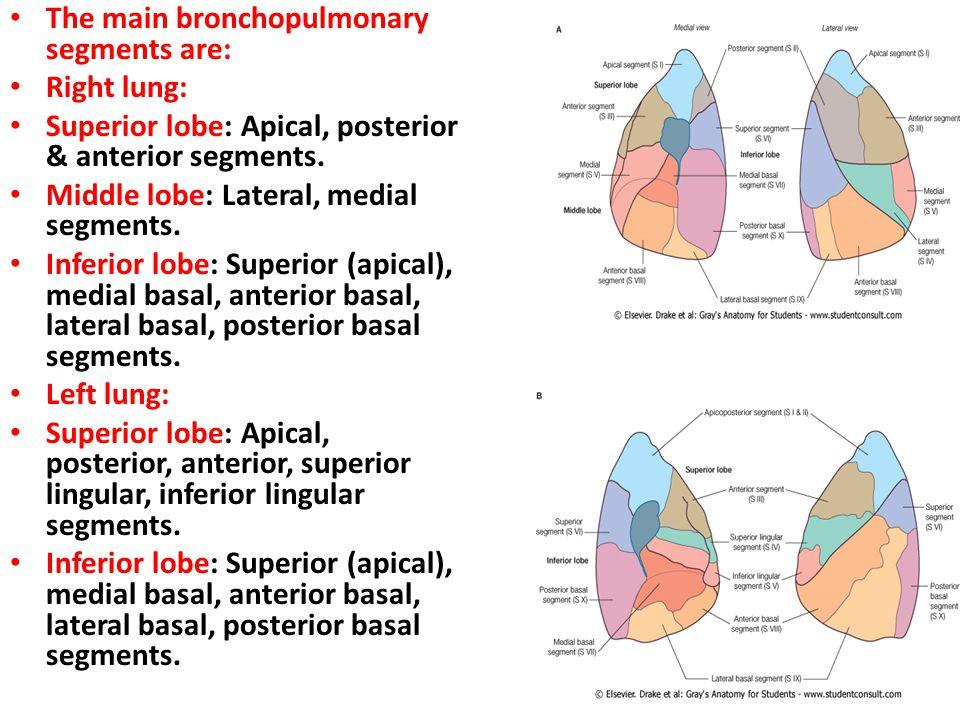 The main bronchopulmonary segments are:
