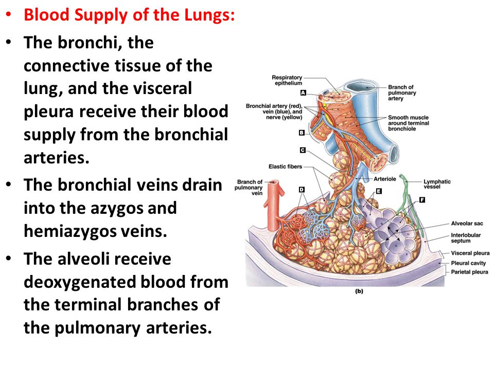 Blood Supply of the Lungs: