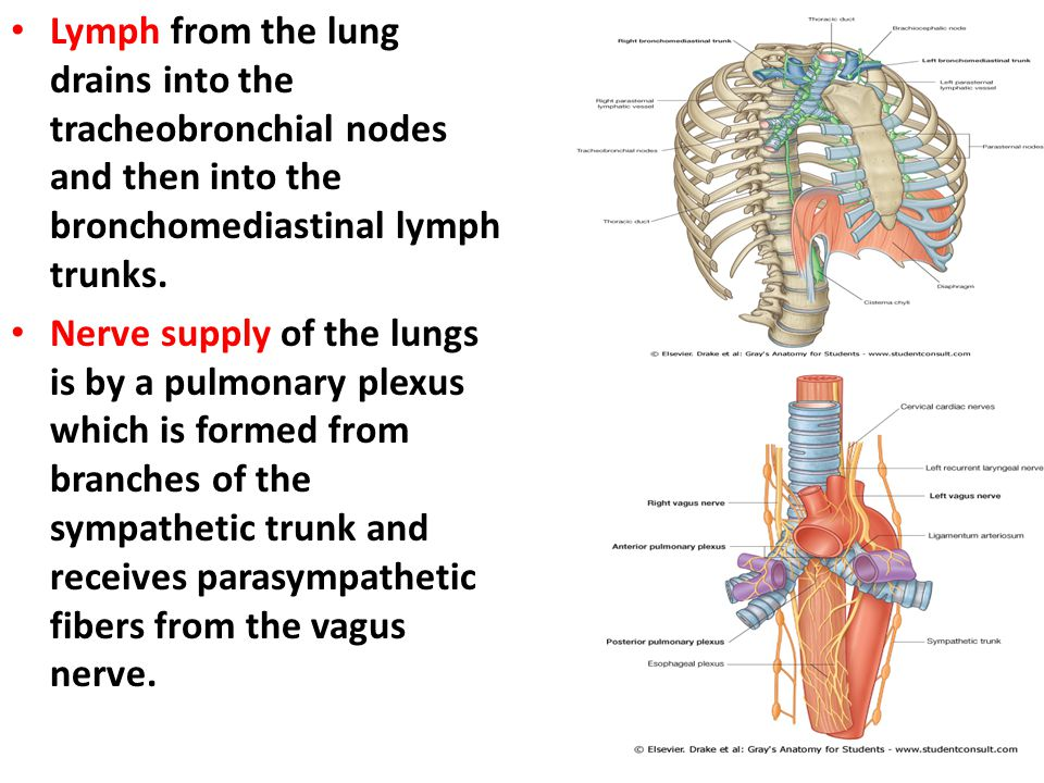Lymph from the lung drains into the tracheobronchial nodes and then into the bronchomediastinal lymph trunks.