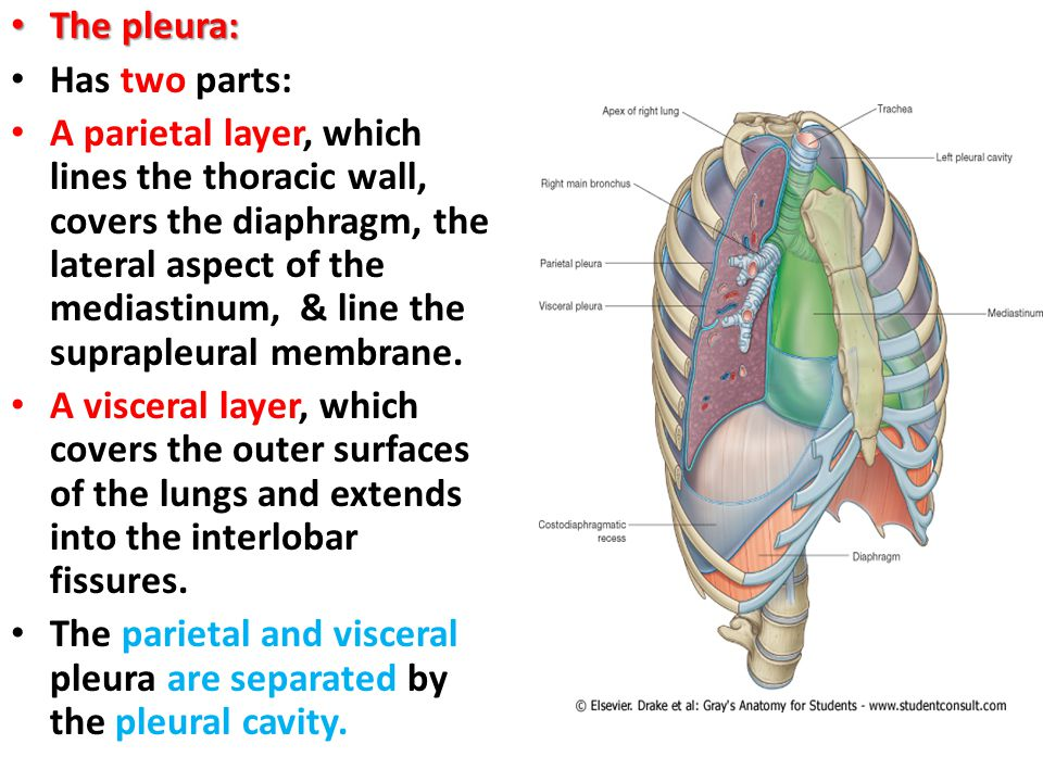The lung the lung objectives explain pleura define mediastinum the pleura has two parts ccuart Images
