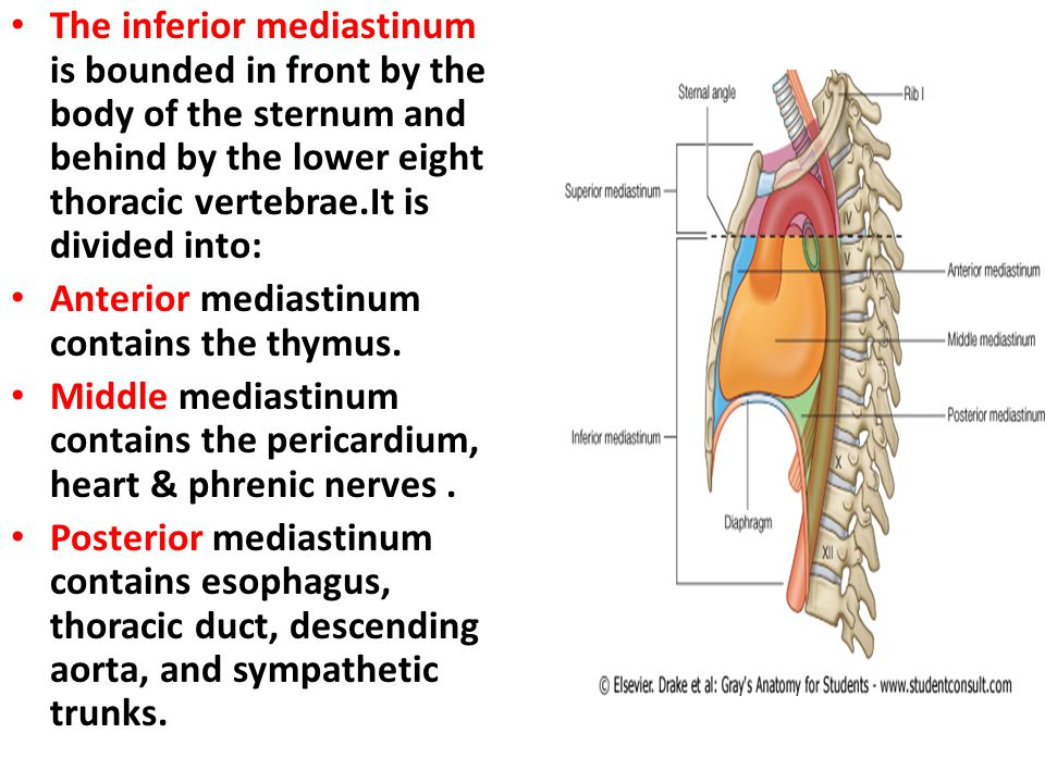 The inferior mediastinum is bounded in front by the body of the sternum and behind by the lower eight thoracic vertebrae.It is divided into: