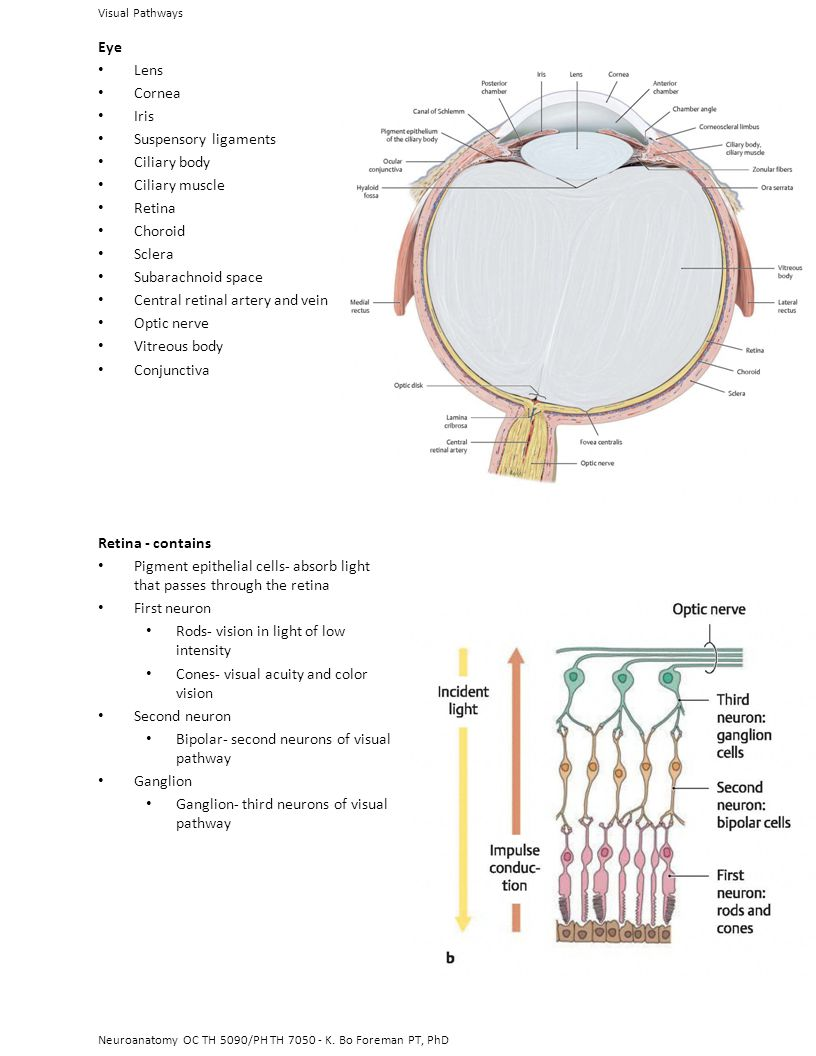 Central retinal artery and vein Optic nerve Vitreous body ...