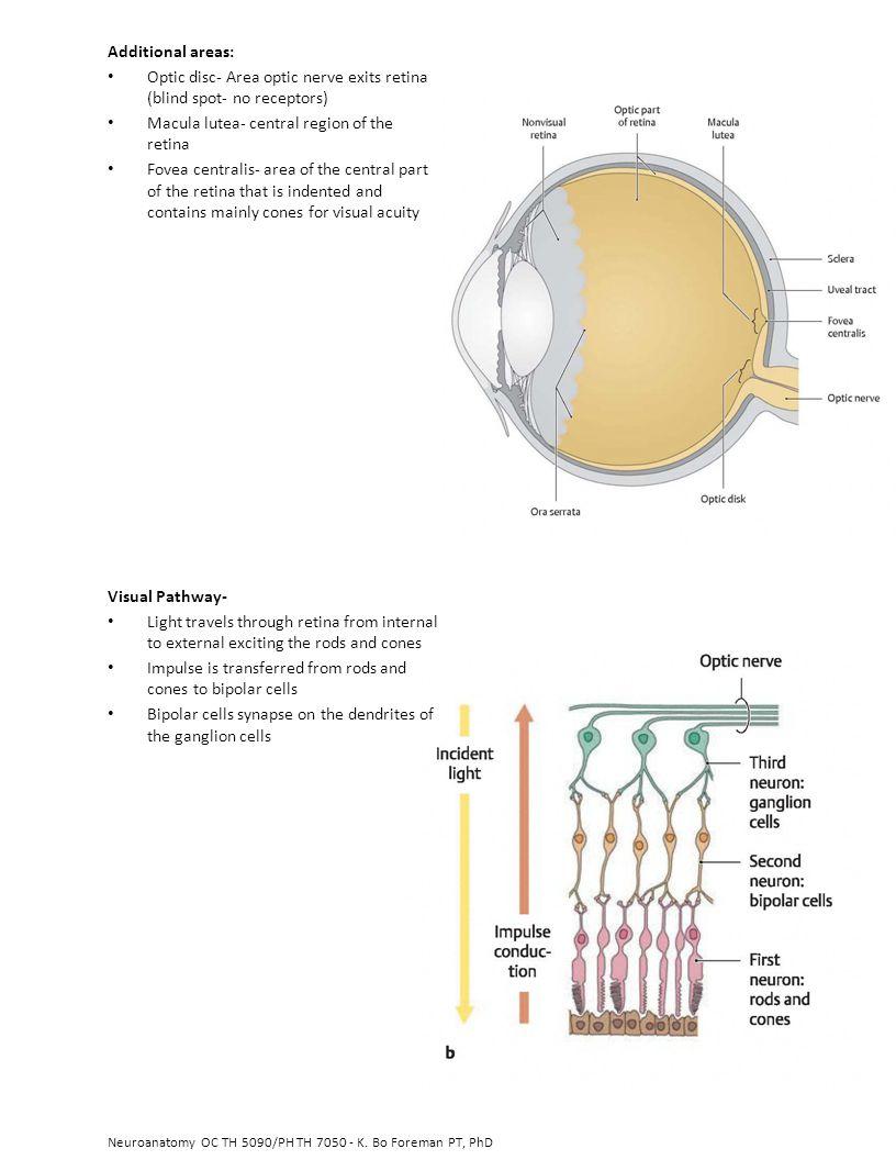 Optic disc- Area optic nerve exits retina (blind spot- no receptors)