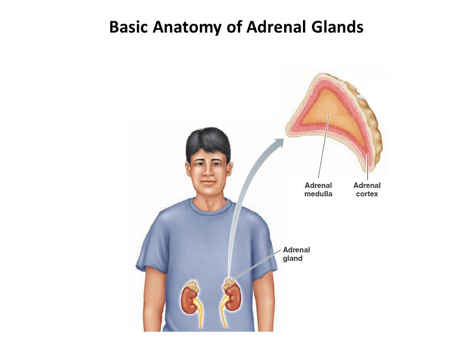 Basic Anatomy of Adrenal Glands