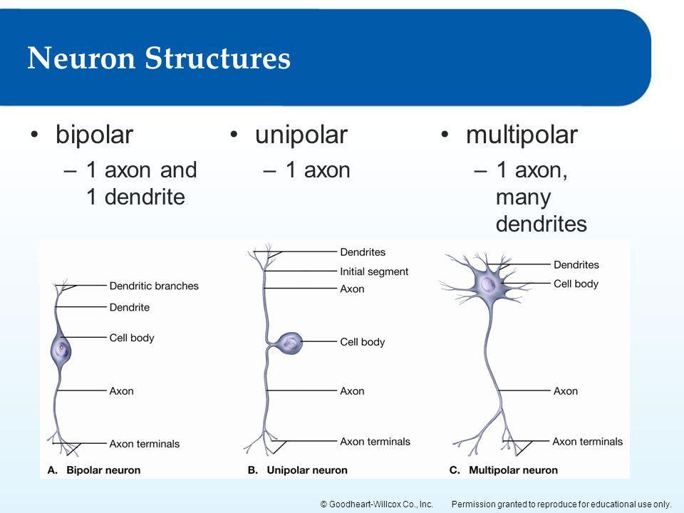 Neuron Structures bipolar unipolar multipolar 1 axon and 1 dendrite