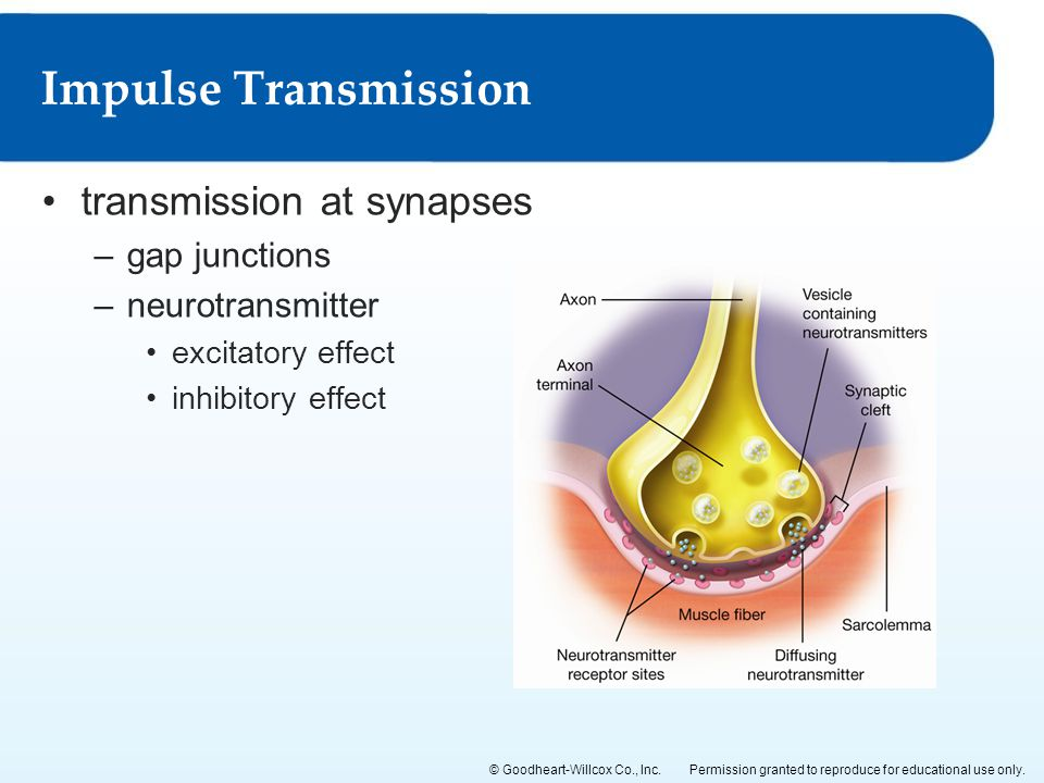 Impulse Transmission transmission at synapses gap junctions