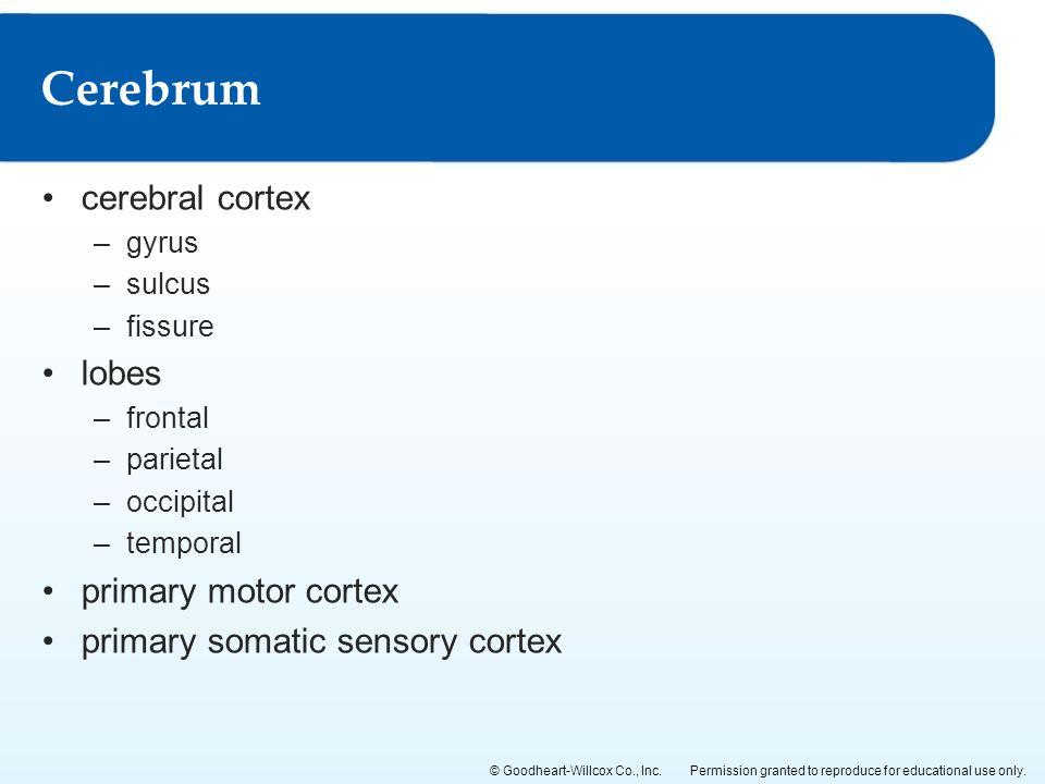 Cerebrum cerebral cortex lobes primary motor cortex