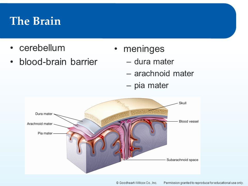 The Brain cerebellum meninges blood-brain barrier dura mater