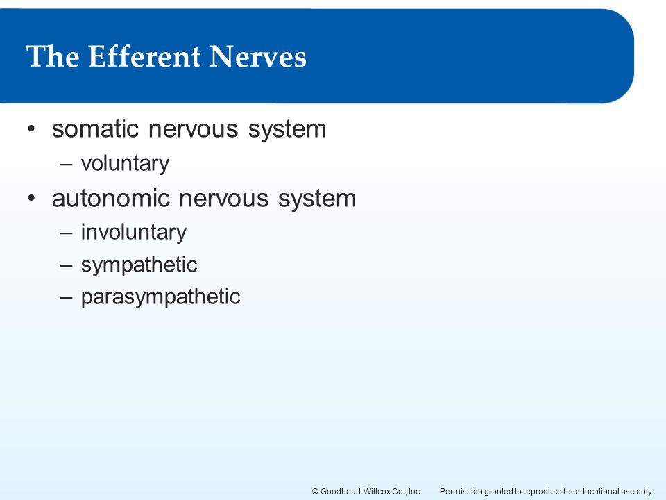 The Efferent Nerves somatic nervous system autonomic nervous system