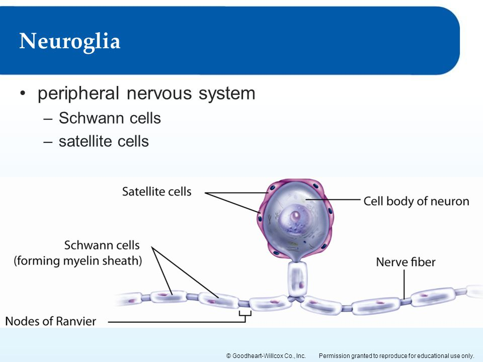Neuroglia peripheral nervous system Schwann cells satellite cells